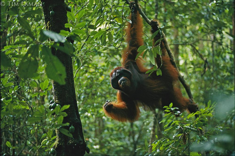Adult male orangutan named Jari Manis feeds on fruit of Diospyros tree in lowland rain forest.  Gunung Palung N.P., Borneo, Indonesia...IUCN Red List: Endangered Species