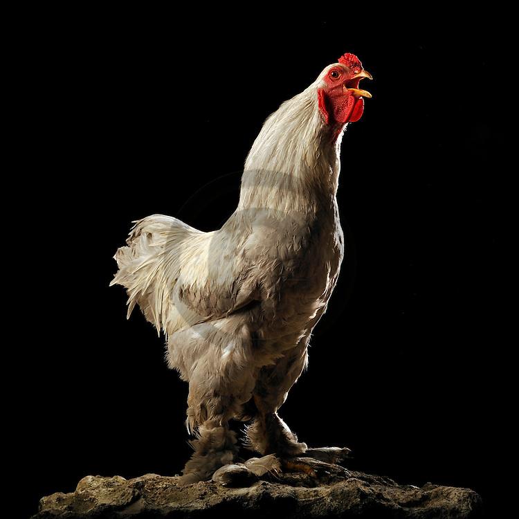 05/05/08 - LAMOTTE BEUVRON - LOIR ET CHER - FRANCE - Elevage avicole de Pascal BOVE. Coq Brahma gris perle maille argente - Photo Jerome CHABANNE