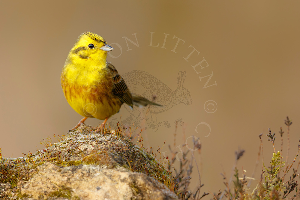 Yellowhammer (Emberiza citrinella) adult perched on weathered rock, Norfolk, UK.