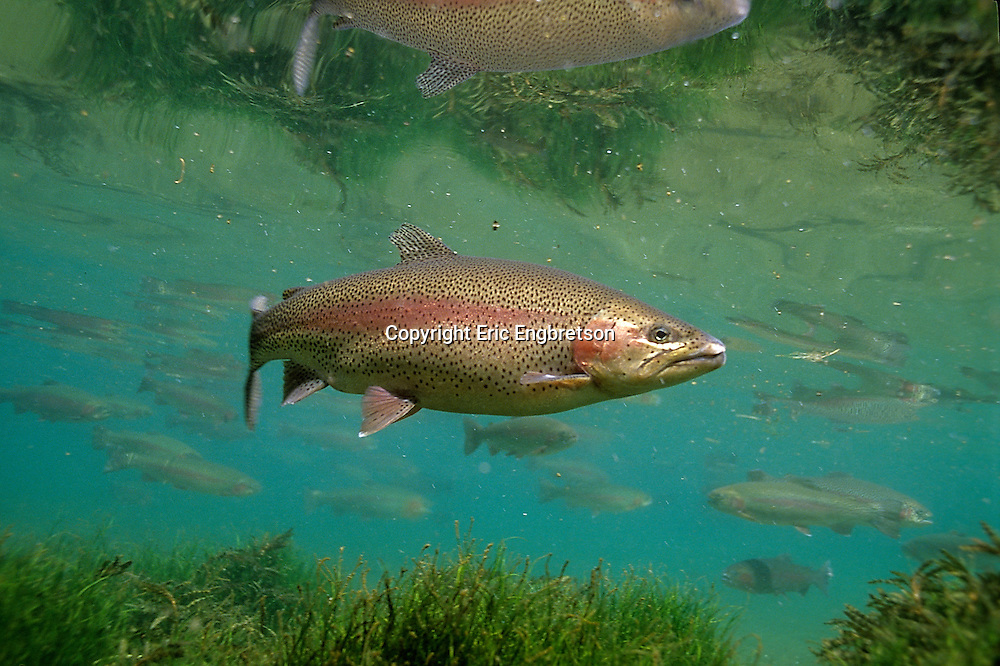 Rainbow trout engbretson underwater photography for How to fish for rainbow trout
