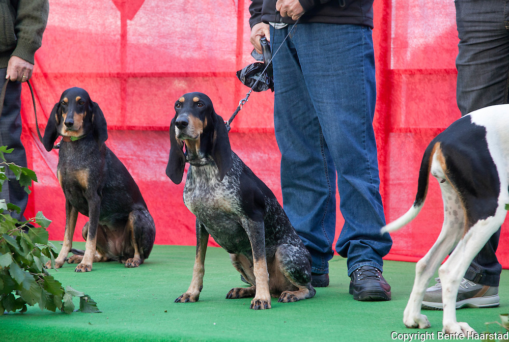 The team from Switzerland. From left: Leo Duschen with luzerner laufhund Diana von Clus (nr. 5), Walter Jäger with luzerner laufhund Eika v. Weisshorn (the winner 2011), and Giovanni Brumama with berner laufhund Clue la Resege Nuoua. The winner! The swiss luzerner laufhund with the name Eika v. Weishorn (in the middle) is the best hare hunting dog in Europe in 2011.