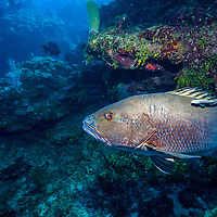 Cubera snapper (Lutjanus cyanopterus) on reef; West End, Roatan, Honduras.