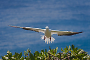 Red-footed Booby, landing approach, Kilauea Point, Kaua'i
