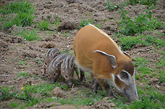 JULY 02 2013 Red river hog triplets born at ZSL Whipsnade Zoo