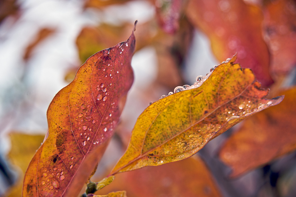 Dew drops form on the changing colors of fall, along the Blue Ridge Parkway, North Carolina