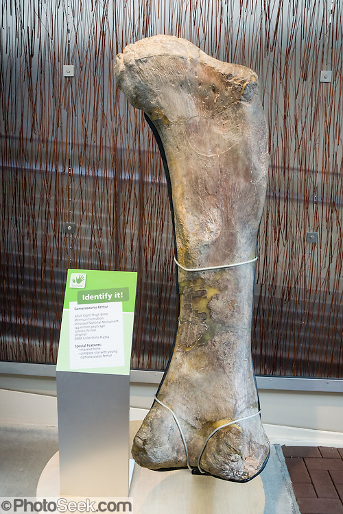 """Camarasaurus femur (right thigh bone) at Dinosaur National Monument's Quarry, Utah, USA. Camarasaurus was a 4-legged herbivorous dinosaur up to 50 feet long, the most common giant sauropod (long-necked dinosaur) of North America. Its fossil remains have been found in the Morrison Formation of Colorado and Utah, dating to the late Jurassic Period (late Oxfordian to Tithonian stages), between 155 and 145 million years ago. The name means """"chambered lizard"""", referring to the hollow chambers in its vertebrae. In Dinosaur National Monument, the popular Dinosaur Quarry displays a spectacular logjam of Jurassic dinosaur bones. The park is on the southeast flank of the Uinta Mountains straddling Colorado and Utah at the confluence of the Green and Yampa Rivers. Although most of the monument is in Moffat County, Colorado, the Dinosaur Quarry is in Utah near the town of Jensen, USA."""