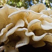 white oyster mushrooms, Alpine Lakes Wilderness Area, Wenatchee National Forest, Washington, USA