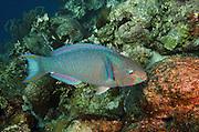 Queen Parrotfish (Scarus vetula)<br /> BONAIRE, Netherlands Antilles, Caribbean<br /> HABITAT &amp; DISTRIBUTION: Reefs<br /> Florida, Bahamas, Caribbean &amp; Bermudal.