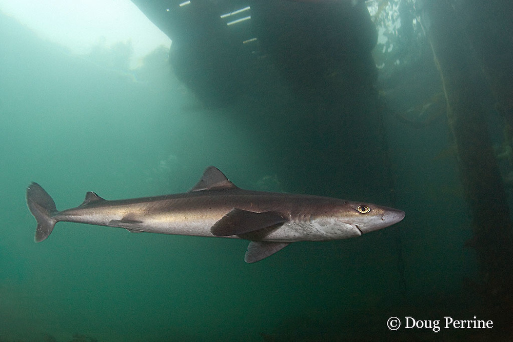 spiny dogfish, piked dogfish, spurdog, or dog shark, Squalus suckleyi (formerly Squalus acanthias ), swims under dock at Quadra Island off Vancouver Island, British Columbia, Canada, ( North Pacific Ocean )