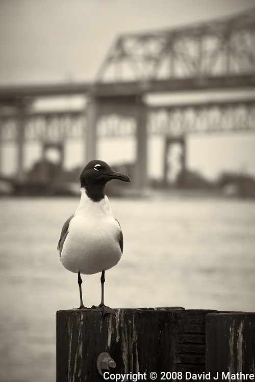 Seagull along the Mississippi River in New Orleans, Louisiana. Image taken with a Nikon D300 and 18-200 mm lens (ISO 200, 170 mm, f/8, 1/160 sec). Processed with Capture One Pro (including conversion to B&W).