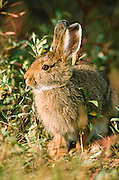 "Alaska. Denali Park. Snowshoe Hare (Lepus americanus) in Yanert Valley. Snowshoe hares are somewhat larger than cottontail rabbits (Sylvilagus spp.). They average around 18 to 20 inches (.5 m) in total length and weigh 3 to 4 pounds (1.4-1.8 kg). In summer the coat is yellowish to grayish brown with white underparts, and the tail is brown on top. This coat is shed and replaced by white pelage in winter, but the hairs are dusky at the base and the underfur is gray. The ears are dark at the tips. The large hind feet are well-furred, adapting these animals for the deep snows of the boreal forests—hence the name ""snowshoe."""