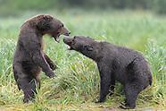 Katmai Alaska Brown Bears Group 1