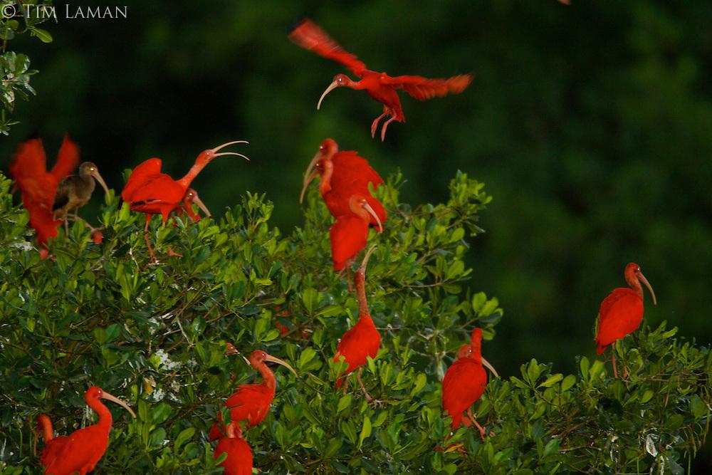 Алые ибисы на их ночевок деревьев на небольшом острове в мангровых Карони болото.