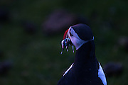 A puffin takes one last look at the setting sun with a mouth full of sandeels before heading into its burrow at Hermaness NNR, Unst, Shetlands.