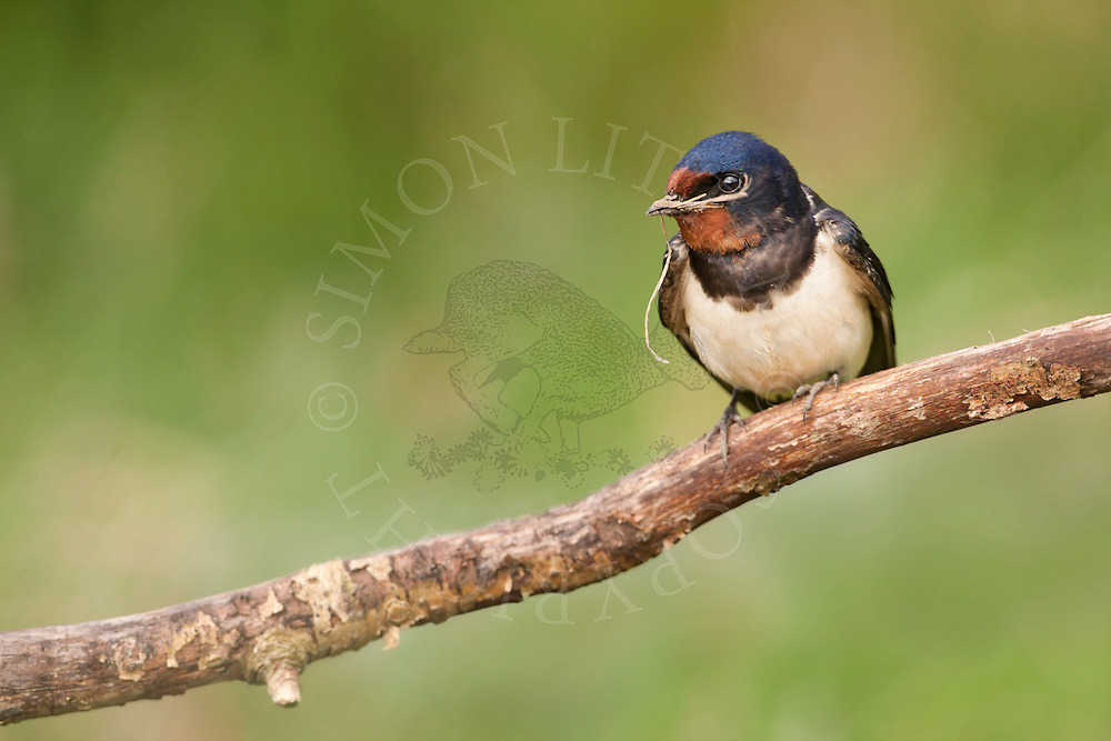Barn Swallow (Hirundo rustica) adult perched on branch with nesting material, Norfolk, UK.