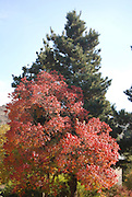 Autumn coloured leaves on a Terebinth (Pistacia terebinthus) also called turpentine tree A cypress tree in the background