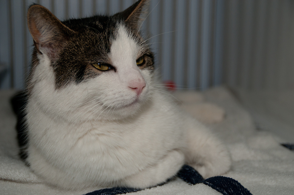 Black and White Domestic Short Hair Cat