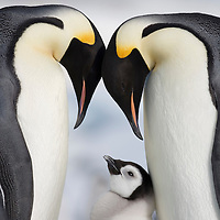 Antarctica, Snow Hill Island, Emperor Penguins standing with young Chick (Aptenodytes forsteri) on frozen sea ice on sunny afternoon
