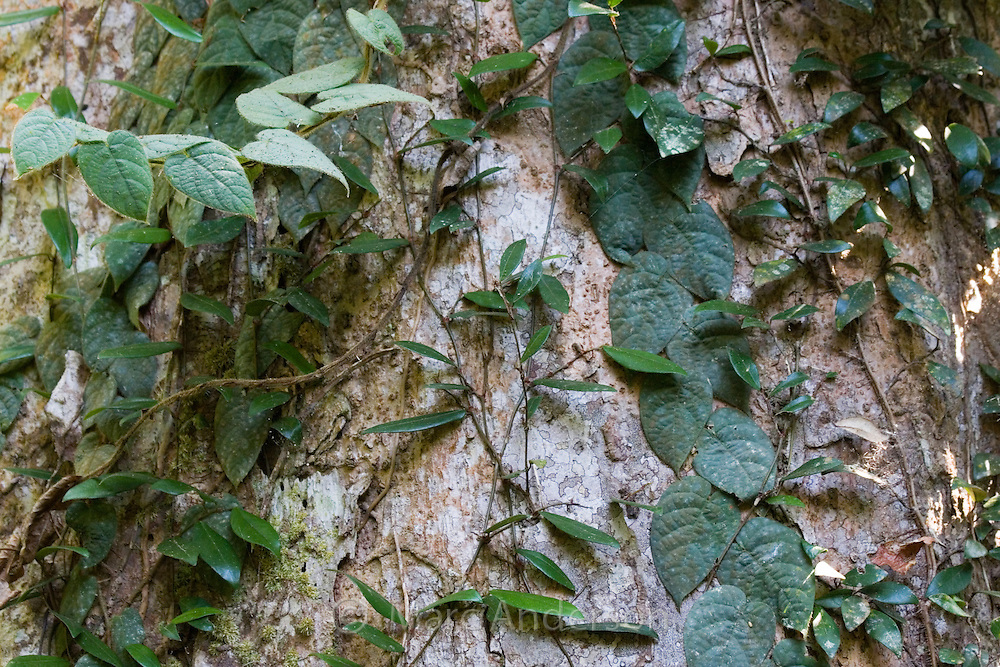 Climbing plants and vines on a rainforest tree, Thailand