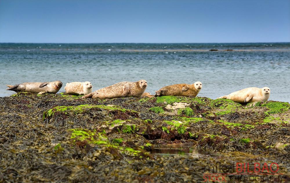 Atlantic Grey Seal or Horsehead seal (Halichoerus grypus) group. <br /> Inishmore island, Aran island. County Galway, Ireland.