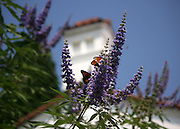 Gulf Fritillary Butterflies on a Butterfly Bush with a Spanish style bell tower in background