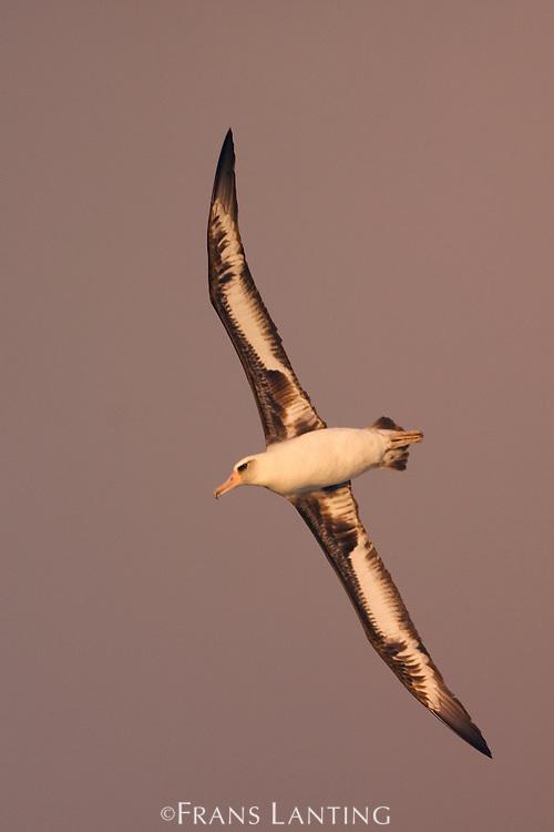 Laysan albatross in flight, Phoebastria immutabilis, Tern Island, Hawaiian Leeward Islands