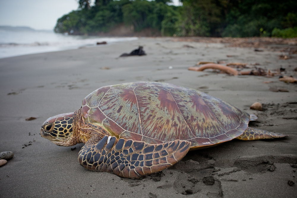 A tagged green turtle makes it's way to the sea