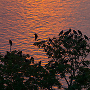 A few dozen American crows (Corvus brachyrhynchos) sit together in a tree overlooking Puget Sound, waiting for the sun to set in Seattle, Washington.