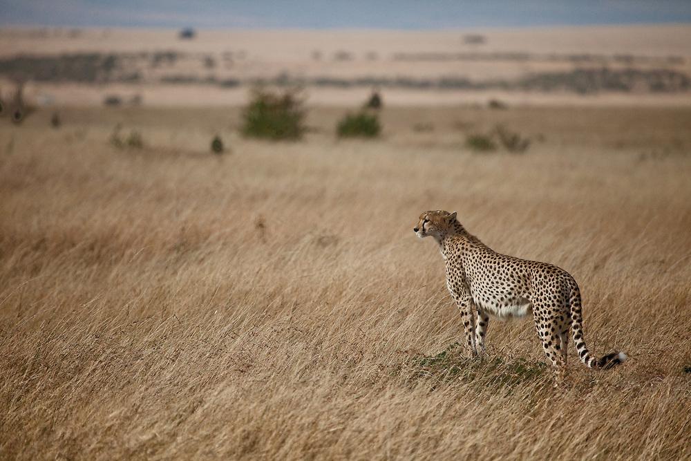 A cheetah stares out across the plains in the Maasai Mara