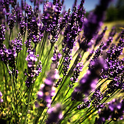 Lavender plant blooms it's purple flowers in Washington.  Photo By:  Jeff Janowski Photography