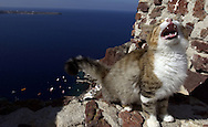 A stray cat, one of thousands living in Greece, meows while sitting on top of a wall in the town of Ia on the island of Santorini, Greece on October 14, 2002. Hundreds of feet below the wall boats float anchored near the small port in Ia. Photo by Jakub Mosur