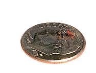 A Cuckoo Bee (Holcopasites calliopsidis) is dwarfed beside a US dime.