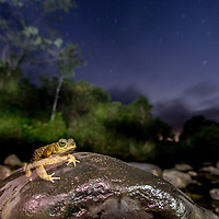 The Vanishig Part I. Cane Toad in Cocobolo Nature Reserve, Panama