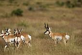 Pronghorn Antelope Hunting Stock Photos