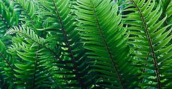 Backlit Western Sword Ferns  (Polystichum munitum) grow abundantly in a lush temperate forest, Kitsap Peninsula, Puget Sound, WA, USA