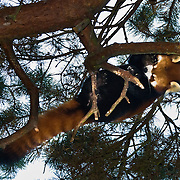 "The Red Panda, Firefox, Fire Cat, or Lesser Panda, or Ailurus fulgens (""shining cat""), is a mostly herbivorous mammal, specialized as a bamboo feeder. The most recent molecular-systematic DNA research places the Red Panda into its own independent family Ailuridae. Ailuridae are in turn part of a trichotomy within the broad superfamily Musteloidea (Flynn et al., 2001) that also includes the Mephitidae (skunks) and the Procyonidae (raccoons) + Mustelidae (weasels). Unlike the Giant Panda, it is not a bear (Ursidae). The Red Panda is slightly larger than a domestic cat (40 - 60 cm long, 3 - 6 kg weight), and is endemic to the Himalayas in Bhutan, southern China, India, Laos, Nepal, and Burma. Red Panda is the state animal in the Indian state of Sikkim, and also the mascot of the Darjeeling international festivals. There is an estimated population of fewer than 2,500 mature individuals. Their population continues to decline due to habitat fragmentation. Photographed in the Woodland Park Zoo, Seattle, Washington."