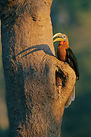 A Rufous-necked Hornbill (Aceros nipalensis), perches outside its nest.