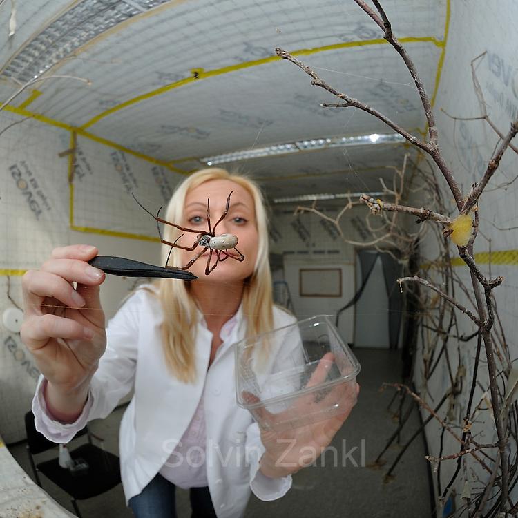 Eine weibliche Goldene Radnetzspinne (Nephila clavipes) wird von Professorin Dr. Christine Radtke gefüttert.