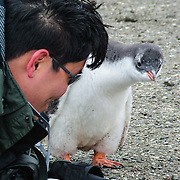 """A curious Gentoo Penguin  (Pygoscelis papua) chick inspects a tourist on Aicho Island, Antarctica. """"Don't approach penguins closer than 15 feet,"""" says an Antarctic tourism rule in 2005. But if you lie down on the ground more than 15 feet away, a curious Gentoo Penguin chick may approach you. An adult Gentoo Penguin has a bright orange-red bill and a wide white stripe extending across the top of its head. Chicks have grey backs with white fronts. Of all penguins, Gentoos have the most prominent tail, which sweeps from side to side as they waddle on land, hence the scientific name Pygoscelis, """"rump-tailed."""" As the the third largest species of penguin, adult Gentoos reach 51 to 90 cm (20-36 in) high. They are the fastest underwater swimming penguin, reaching speeds of 36 km per hour."""