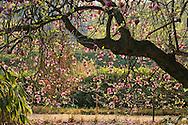 "France, Languedoc Roussillon, Gard, Cevennes, Anduze, Prafrance, La Bambouseraie, Magnolia Soulangeana ""rustica rubra"""