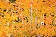 Aspen Trees Fall Color at North Lake, Eastern Sierra, California