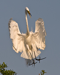 A great egret (Ardea alba) prepares to land in a tree located in the Gatorland alligator breeding marsh and bird sanctuary near Orlando, Florida. The bird sanctuary is the largest and most easily accessible wild wading bird rookery in east central Florida. Great egrets were hunted almost to extinction for its plumage, used by the fashion industry, in the 1800's. The Aududon Society was formed during this period to push for protection for the birds from the fashion industry.