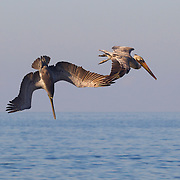 A Brown Pelican (Pelecanus occidentalis) dives for food into the Pacific Ocean off the coast of Puerto Vallarta, Mexico. Brown Pelicans hunt in a unique way. They fly over bodies of water, spotting fish from as far as 50 feet (15 meters) away. Once they spot a fish, they dive, plunging into the water head first and scooping up the fish and the water around it in its large pouch. It quickly strains the water from the side of its bill and swallows the fish.