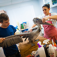 SARASOTA, FL -- October 2012 -- Hospital staffers Nick Larson and Sarah Olivero inspect a brown pelican brought in by residents at Save Our Seabirds (S.O.S.) on City Island in Sarasota, Florida.  (PHOTO / CHIP LITHERLAND)