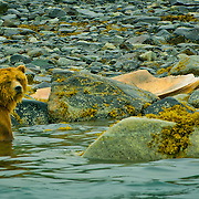North America, United States, US, Northwest, Pacific Northwest, West, Alaska,  Glacier Bay, Glacier Bay National Park, Glacier Bay NP, Grizzly bear in Glacier Bay National Park, Alaska.