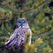 Great grey owl in conifer forest. Yaak Valley, Purcell Mountains, northwest Montana.