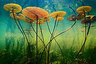 Water lilies, Nymphaea nouchali, Okavango Delta, Botswana