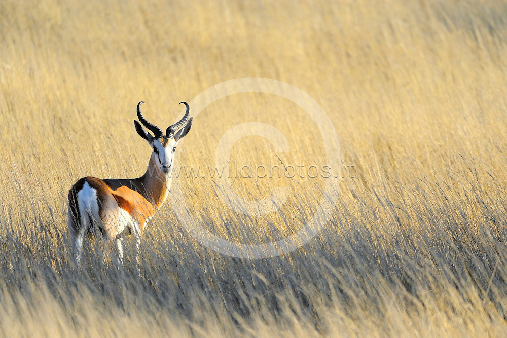 "The springbok (Antidorcas marsupialis) is a medium-sized brown and white antelope-gazelle of southwestern Africa.It is extremely fast and can reach speeds of 88 km/h (55 mph)and can leap 4 m(13 feet) through the air. The common name ""springbok"" comes from the Afrikaans and Dutch words spring = jump and bok = male antelope or goat."