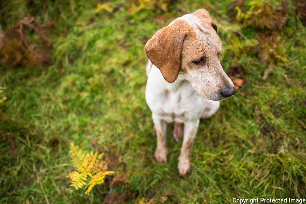 A foxhound of the Jedforest Hunt.