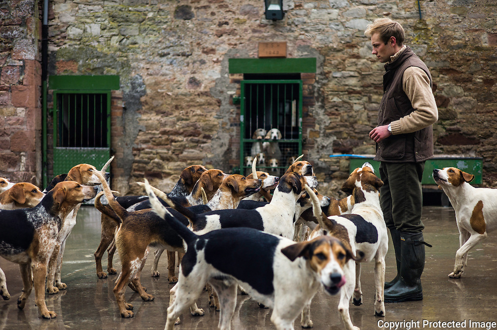 Abbotrule, Bonchester Bridge, Hawick, Scottish Borders, UK. 4th May 2016. One year old 'unentered' Foxhounds of the Jedforest Hunt with their huntsman Johnny Richardson at home in their kennels near Bonchester Bridge.